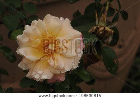 A light orange rose in a garden