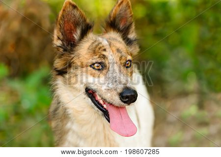 Collie dog is a closeup of a beautiful purebred puppy dog outdoors in nature.