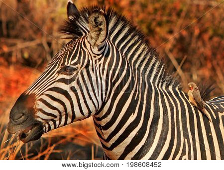 Side Profile of a burchell zebra with golden sunlight and an oxpecker perched on it's back in South Luangwa, Zambia