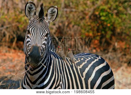 Burchell Zebra looking into camera while chewing on dried grass with 2 oxpeckers perched on it's back in South Luangwa National Park Zambia
