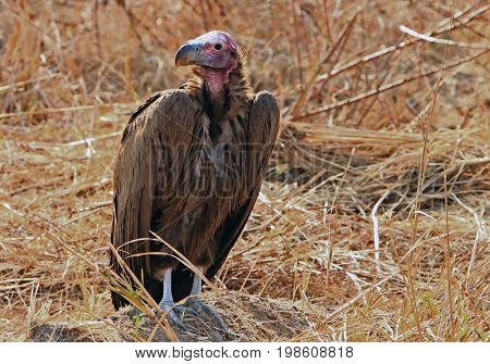 Lappet Vulture resting on the ground in South Luangwa Park.  Very distinguishable by it's red neck and head.  It is the largest of the African vultures