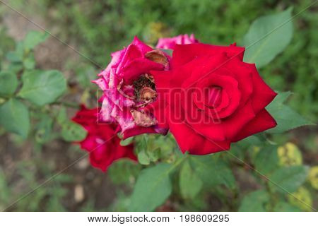 Blooming And Withered Red Rose In Garden