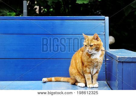Red cat over a blue wooden bench