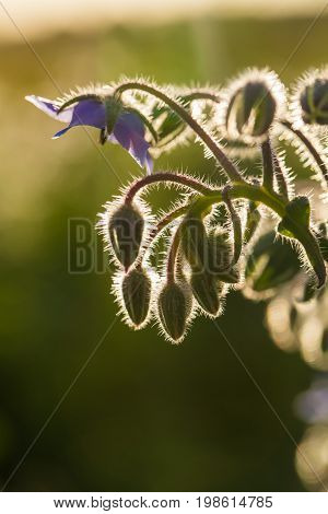 Beautiful starflower buds and flowers in the evening sun. Vibrant summer scenery of a garden. poster