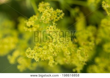 Beautiful alchemilla vulgaris blooming in the garden. Common lady's mantle flowers. Shallow depth of field closeup macro photo.