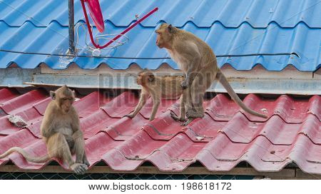 Two monkeys having sex while another monkey sit sadly turned back on them
