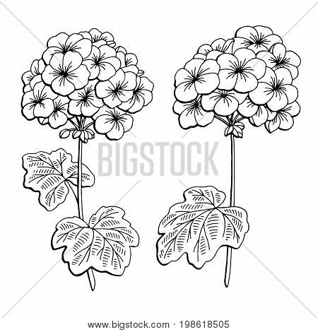 Geranium flower graphic black white isolated sketch illustration vector