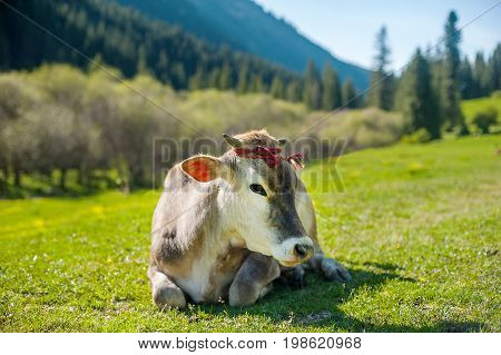 Meditative cow on the mountain pasture. Cow face portrait. Cow lying on mountain grass.