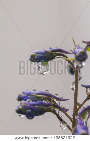 Larkspur purple flowers, Delphinium elatum with water drops after rain in a garden, close up
