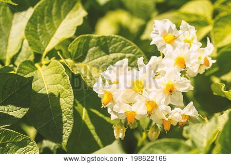 Green blooming potato plant, flower. Leaf of vegetable. Organic food agriculture in garden, field or farm. Growth of crop. Rural nature in summer. Natural outdoor background.