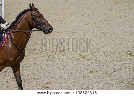 Bay dressage horse going to perform jump at show jumping competition. Equestrian sport background. Bay horse portrait during dressage competition.