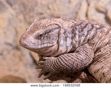 The Savannah Monitor (Varanus exanthematicus) is indigenous to the African savannah. It is known as Bosc's monitor in Europe named after French scientist Louis Bosc who first described the species.