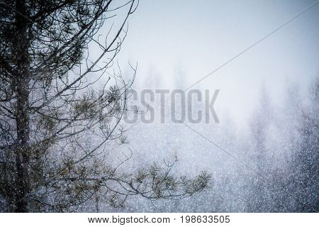 Heavy Snowstorm In A Pine Forest