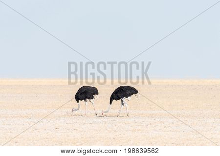 Two male ostriches Struthio camelus feeding on Fischers Pan in Northern Namibia