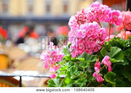 Open terrace of restaurant on Stortorget square in Stockholm, Sweden. Focus on the geranium flowers