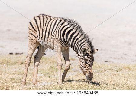 A Burchells zebra foal Equus quagga burchellii grazing in Northern Namibia