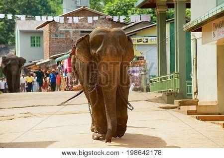 PINNAWALA, SRI LANKA - MAY 18, 2011: Elephant walks by the street in Pinnawala, Sri Lanka. Pinnawala in Sri Lanka is famous for Elephant Orphanage.