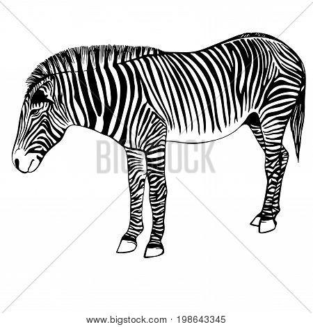 Sketch of a zebra. Hand drawn zebra illustration.Black and White Zebra portrait ink engraved isolated on white background.