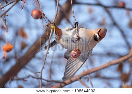 Waxwing (Bombycilla Garrulus) on a Tree Trunk