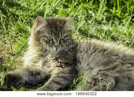 Beautiful fluffy gray cat with green eyes against a background of green grass