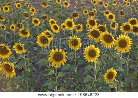 Field of sunflowers. Back and side lighting