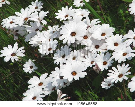 WHITE AFRICAN DAISIES WITH A DARK BACK GROUND