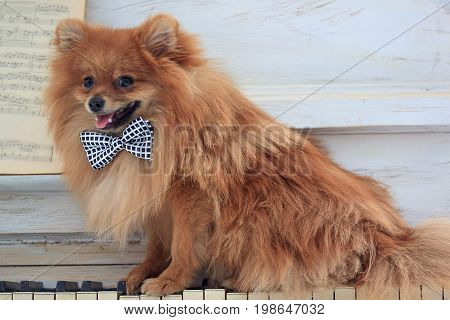 Beautiful pomeranian puppy sits on a old pianoforte. Pet animals.
