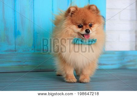 Beautiful pomeranian puppy in a blue bow tie. Pet animals.