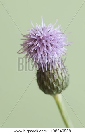 Cirsium arvense (creeping thistle) flower isolated on white