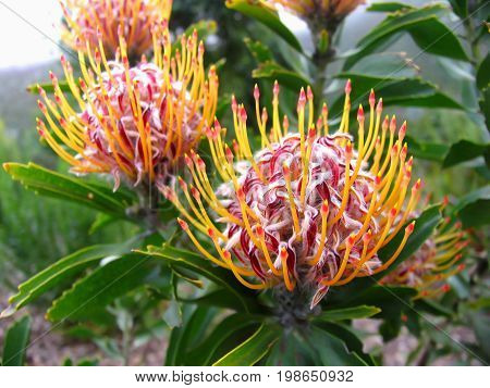 Leucospermum or Pincushion Protea is a genus of about 50 species of flowering plants in the family Proteaceae, Native to South Africa and Zimbabwe