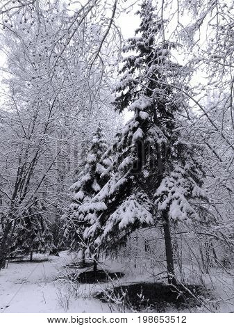 Landscape with the image of spruces under snow (black-white)