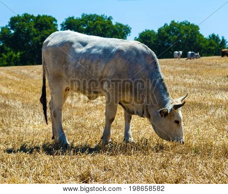 Cows in a meadow apulia countryside landscape