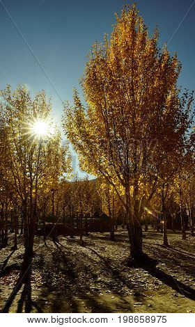 Yellow Orange Colored Autumn Trees In The Valley In Yading National Level Reserve, Daocheng, Sichuan