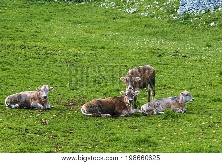 Herd of cows grazing at summer green field (cow dairy field)