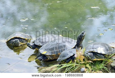 Western painted turtle (chrysemys picta) sitting on wood