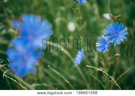 two cornflower flowers on the feild close up