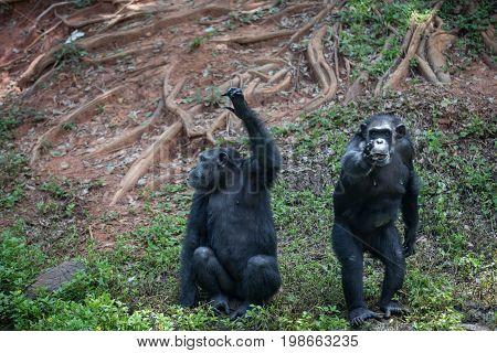 Monkeys Chimpanzee monkey's surprised funny face at zoo