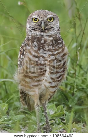 Burrowing ground owl sitting on the ground looking straight forward