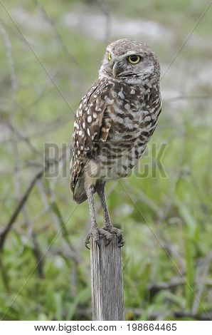 Burrowing ground owl standing so you are able to see his legs and eyes