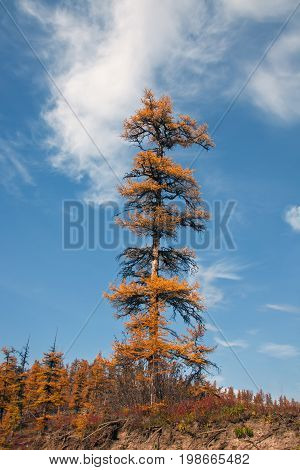 Lonely tree Siberian larch in autumn in the North of Evenkia. Krasnoyarsk region Russia