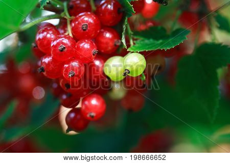 Freshness currant brunch with red berries against green leaves