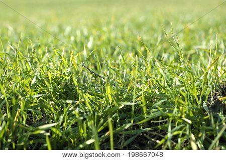 grass meadow closeup, green grass , background