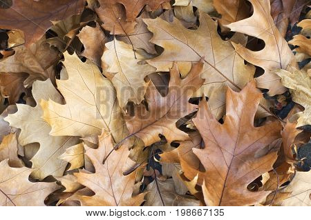 Fallen yellow brown forest leaves closeup, leaf tree