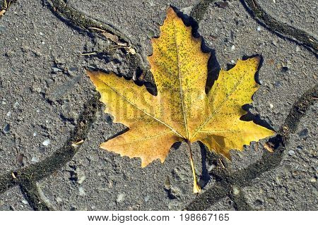 Yellow Leaf on the ground, leaf dropped on the road