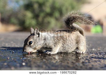 Antelope Squirrel (Ammospermophilus leucurus) in Joshua Tree National Park. California. USA