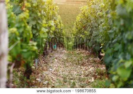 The grapes grow in rows on the grape field. Wine culture in France
