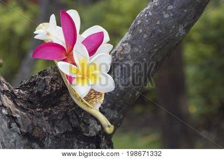 Plumeria alba plumeria rubra flowers on the tree