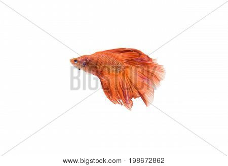 Siamese fighting fish (Double-Tail Halfmoon) Beautiful orange tail isolated on black background.