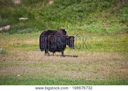 Black female Yak with horns is in a pasture in the Tien Shan mountains. Kyrgyzstan
