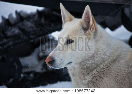 The white husky. Hunting the Siberian husky dog looking to the side. Head Kamchatka Russia